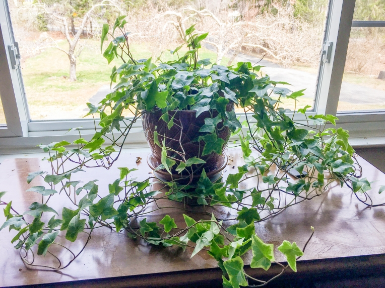 ivy plant trelis circle hoop